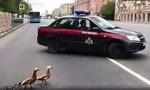 Clip cảnh sát Nga ngăn xe trên phố hỗ trợ... bầy vịt qua đường