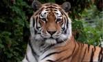 Hổ cắn chết nữ nhân viên vườn thú trước mặt du khách