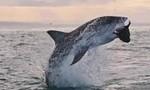 Clip khoảnh khắc cá mập trắng nhảy cao 4m săn mồi