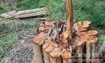 Chở gỗ trong rừng, 1 người bị gỗ đè tử vong