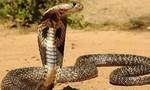 Cả nhà hoảng hốt khi thấy rắn hổ mang dài hơn 4m bơi vào nhà