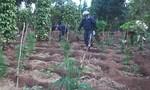 Bắt vụ trồng hơn 1.000 cây cần sa để cho… gà ăn