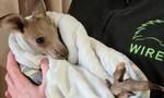Cảnh sát Úc buộc tội 2 thiếu niên giết 14 con chuột túi