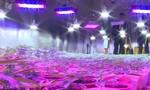 Phát hiện đường dây trồng và mua bán cần sa quy mô lớn, lắp đèn led sưởi cây
