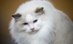 Phát hiện việc lây truyền COVID-19 từ người sang mèo