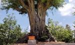 Cây me khủng trên 200 năm tuổi ở Sa Đéc đạt kỷ lục độc bản Việt Nam