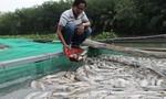 Cá nuôi ở thượng nguồn sông Sài Gòn chết hàng loạt, thiệt hại tiền tỷ
