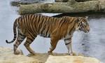 Trung Quốc: Liên tiếp xảy ra việc hổ vồ chết người trông thú