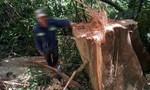 Lấy hạt ươi bằng cách... chặt hạ cả cây cao hàng chục mét