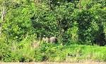 Clip đàn voi rừng tại khu vực biên giới Gia Lai