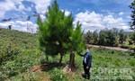 Trồng 100ha rừng thông ở Kon Tum: Sau 1 năm thông bị phá sạch, tiền khó thu hồi