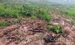 Hơn 34ha rừng phòng hộ bị san ủi để trồng bạch đàn