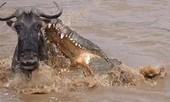 Linh dương uống nước bên sông, bị cá sấu khổng lồ truy sát
