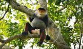 """Năm khỉ nói chuyện voọc trên """"bán đảo Tề thiên""""- Kỳ 1: Săn voọc trên đỉnh Sơn Trà"""