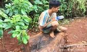 Bắt được nhóm đối tượng cưa trộm cây thủy tùng quý hiếm 500 tuổi