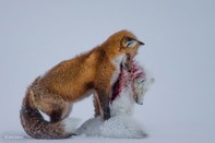 Bức ảnh 'cáo tử chiến' đoạt giải quốc tế 2015