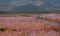 Chile: Sa mạc nở hoa nhờ… biến đổi khí hậu!