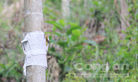 Cau trái đắt giá, người dân... dán 'bùa' lên thân cây để chống trộm