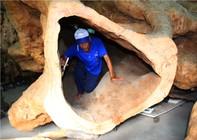 Ngắm bộ rễ cây trăm năm tuổi tiền tỷ độc nhất vô nhị ở miền Tây