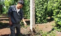 Thiệt hại nửa tỷ đồng vì bị kẻ gian đầu độc vườn tiêu gần 500 gốc