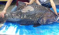 Cặp cá hô nặng gần 240kg về TP.HCM
