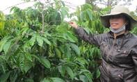 Ám ảnh vì trộm trong mùa thu hoạch cà phê