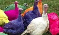 Trang trại gà tây nhiều màu rực rỡ