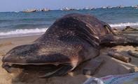 Xác cá voi nặng hơn 3 tấn dạt vào biển Mũi Né