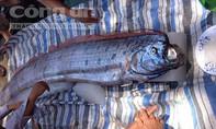Cá hố khổng lồ lại trôi dạt vào biển Thanh Hóa