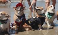 Hàng trăm con chó Corgi 'xâm chiếm' bãi biển ở Mỹ