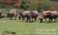 Kỳ lạ phong tục thả trâu, bò vào rừng dưới chân núi Lang Biang