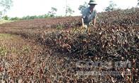 Nông dân trắng tay vì hàng ngàn hecta chè chết khô