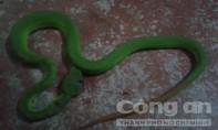 Xuất hiện rắn lục đuôi đỏ cắn người