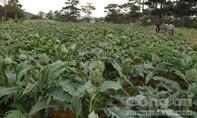 Hơn 3.000 cây Atiso biến mất trong đêm