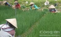 Nông dân trồng hành lá, ớt sừng thu lãi lớn