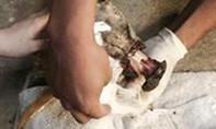 Rớt nước mắt chú chó bị bọn bắt chó dán keo hoại tử trơ xương