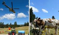 Máy bay trực thăng quân sự chở 6 triệu lít nước cứu đàn bò
