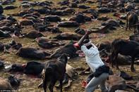 Nepal chấm dứt thảm sát hàng ngàn động vật tế thần Gadhimai