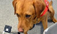 Những con chó có thể ngửi ra mùi bệnh ung thư