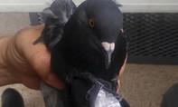 Costa Rica: Quản giáo phải kiêm nhiệm việc kiểm tra chim bồ câu