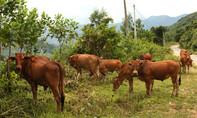 Bắt giữ nghi can trộm cả đàn bò thuê xe tải chở đi bán