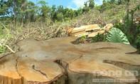 """""""Lâm tặc"""" cạo trọc rừng ở Phú Yên"""