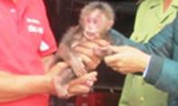 Người dân tự nguyện giao nộp cá thể Khỉ mặt đỏ quý hiếm