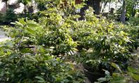 Người dân Huế tất bật trồng hoa mai những ngày giápTết
