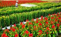 Cánh đồng hoa tết tuyệt đẹp ở ngoại ô Sài Gòn