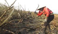 Nông dân trồng mía 'bẻ kèo', doanh nghiệp kêu trời vì mất tiền tỷ
