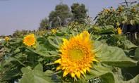 Đặc sắc làng hoa Tết giữa lòng Thành phố Biên Hòa