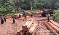 Phát hiện vụ khai thác, tập kết gỗ lậu lớn