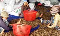 Đổ xô đi mua cau non bán qua Trung Quốc làm kẹo cau