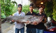 Cá hô và cá leo 'khủng' trị giá hàng trăm triệu về TP.HCM